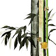 ContemporaryBamboo1