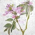 MulberryCleome